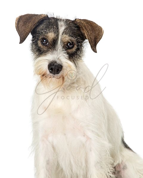 Jack Russell Terrier Crossbreed Dog Closeup