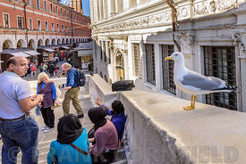 A gull looking for food from tourists on the Rialto Bridge in Venice, Italy.