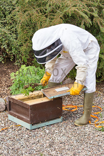 Bee keeper transferring part of bee swarm to temporary hive