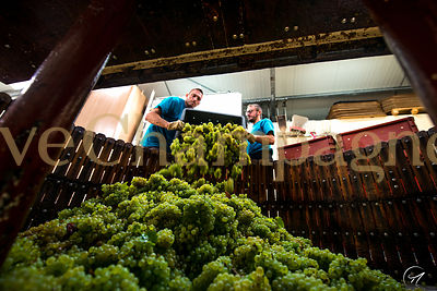 GRAPE HARVEST photos