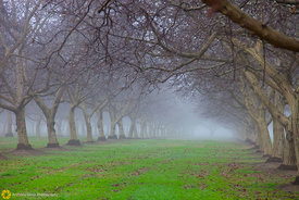 Walnut Orchards in the Fog #5