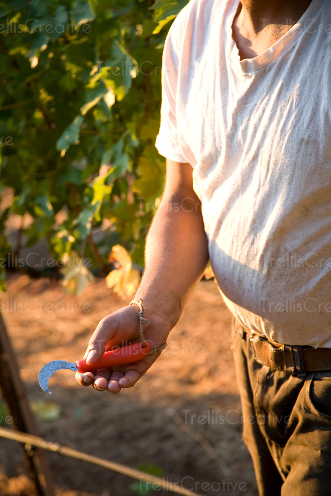 Vineyard worker shows the knife used to harvest grapes
