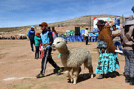 Boy leads his alpaca away from the weighing cage, Curahuara de Carangas, Bolivia