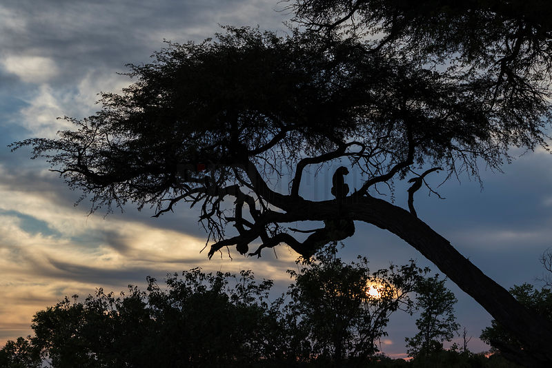 Cheetah Sitting in a Tree at Sunset