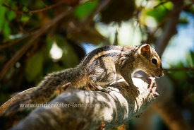 Chipmunk squirrel