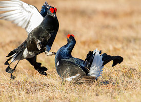 Black Grouses fighting on lekking site