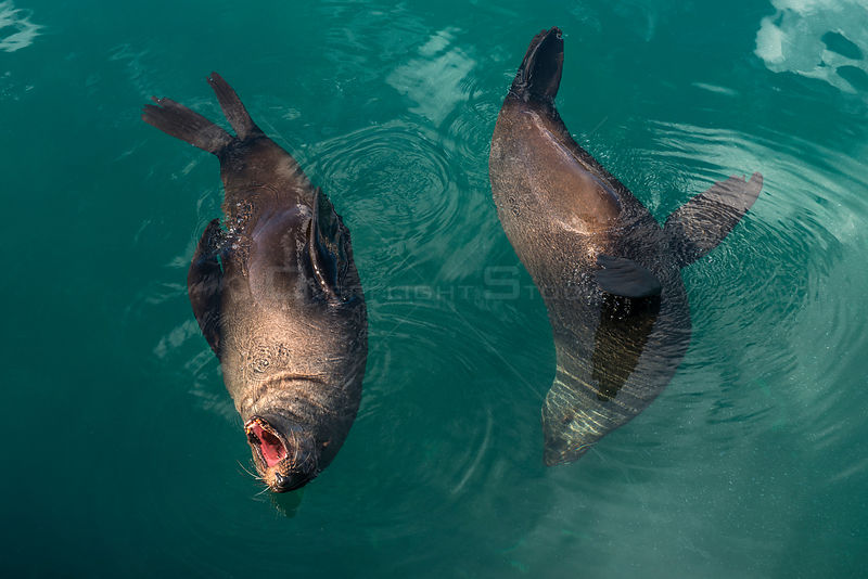 Cape fur seals (Arctocephalus pusillus) in water, Hout Bay harbor, Western Cape, South Africa.