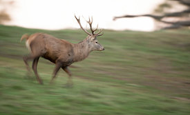 Running_Stag