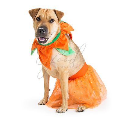 Large Dog Wearing Pumpkin Costume