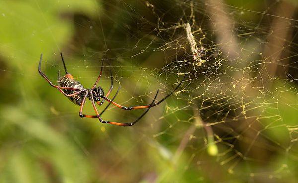 Madagascar Golden Orb Web Spider female on the left and the tiny male on the right