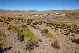 Yareta plants (Azorella compacta) and tola bushes (Parastrephia lepidophylla) on hillside, Las Vicuñas National Reserve, Region XV, Chile
