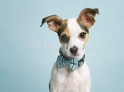 Endearing_small_dog_looking_at_camera
