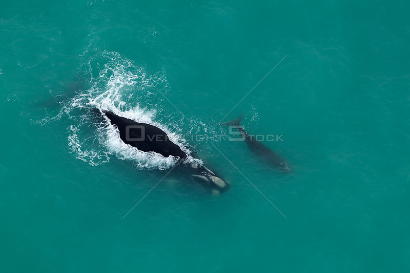 Aerial view of Southern right whales (Balaena glacialis australis) mother and calf at surface, Cape Agulhas, South Africa, August