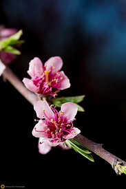 Peach Blossoms # 7