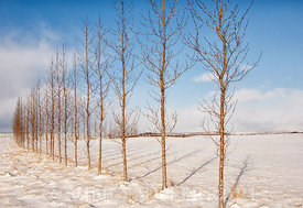 A Row of Trees in Winter