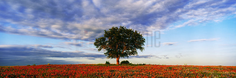 Live Oak Tree in Field of Indian Paintbrush