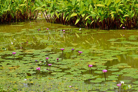 Water lilies in a pond in Singapore