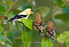 American Goldfinch, Male and Juveniles