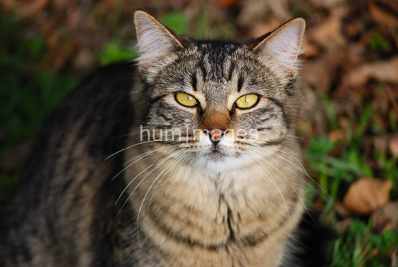 Brown Tabby cat looking at camera