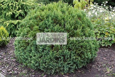 Chamaecyparis lawsoniana 'Pixie'. Conifère