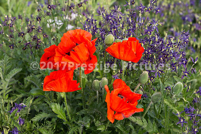 Red Poppies in a Flowerbed