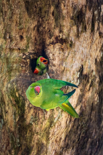 Rose Ringed Parakeet at Nest with Young