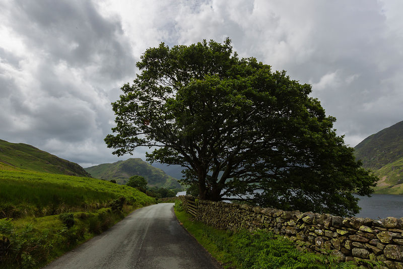 Tree and Drystone Wall Near Crummock Water