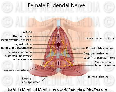 Pudendal nerve in female labeled