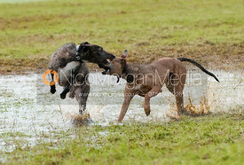 Two lurchers playing at speed