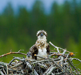 Osprey Pandion haliaetus female with chick in nest Finland July