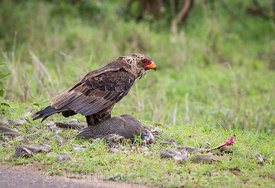 Young Bateleur (Terathopius ecaudatus) with its recently killed Helmeted Guineafowl (Numida meleagris) on the H1-3, Kruger National Park,  South Africa; Landscape