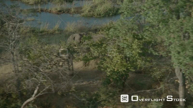 Aerial side view of single elephant walking in tall grass behind trees along riverbank, elephant stops and looks at camera, zoom in walks away fast Botswana