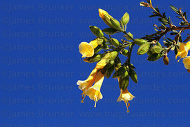 Unusual yellow version of the cantuta flower (Cantua buxifolia)