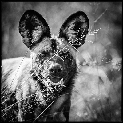 1254-Wild_dog_in_the_grass_Bostwana_2009_Laurent_Baheux