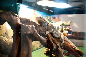 Bearded dragon on log in aquarium