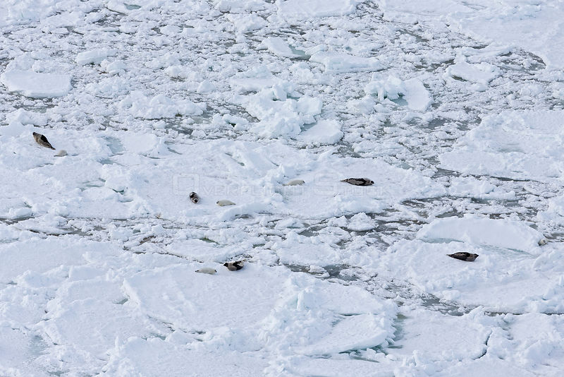 Aerial view of Harp seal (Phoca groenlandicus) females and pups on sea ice, Magdalen Islands, Gulf of St Lawrence, Quebec, Canada, March 2013.