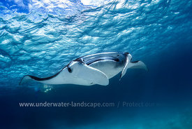 Manta ray in Mayotte island