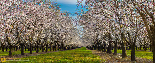 Panorama of Almond Orchards #2