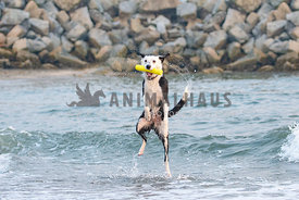 border collie jumping up and catching yellow toy in the ocean waves