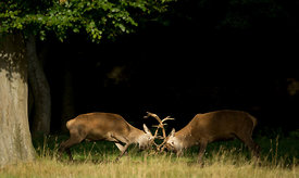 Rutting_Stags