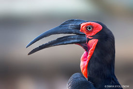 Southern Ground Hornbill, South Africa