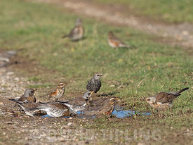 Fieldfare Turdus pilaris and Redwing Turdus iliacus newly arrived migrants from continent drinking and bathing in puddles on track North Norfolk October