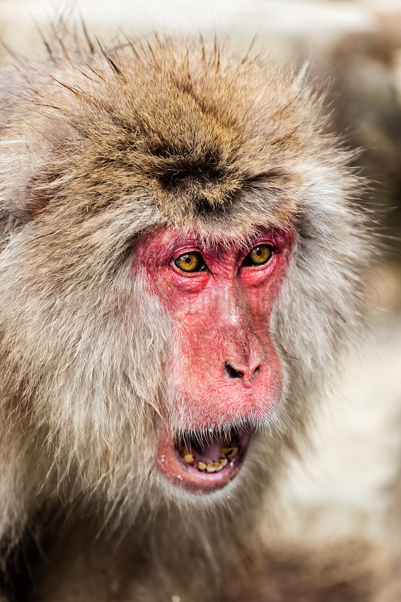Portrait of a Japanese Macaque in Hot Spring Showing Threat Gesture