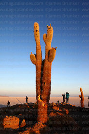 Tourists and forked Echinopsis atacamensis (pasacana subspecies) cactus on summit of Incahuasi Island at sunrise, Salar de Uyuni, Bolivia