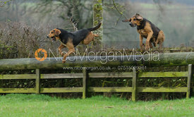 bloodhounds jumping a hunt jump at Baggrave Hall