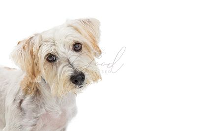 White Maltese and Terrier Mixed Breed Dog Closeup