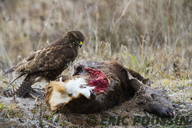 buse variable et son chevreuil