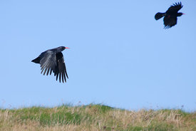 Choughs In Flight