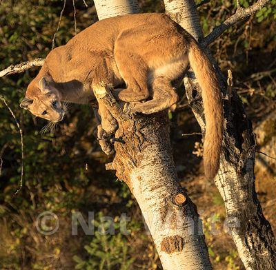 Cougar-Triple_D_wildlife-22017-495-July_31_2017