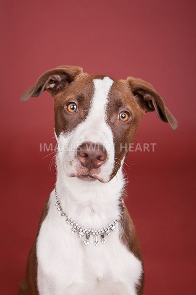 Closeup of Dog Looking at camera wearing diamond necklace